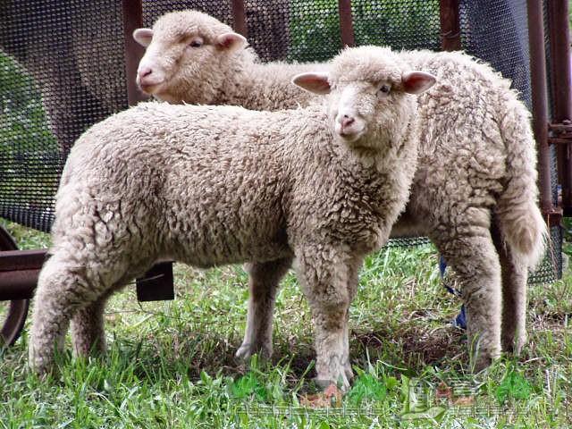 Парочка овец в загоне