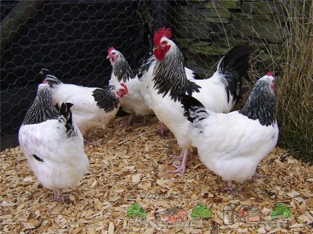 Витамины Премикс: влияют ли они на куриные яйца