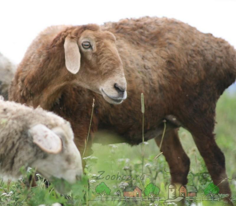 Эдильбаевская овечка на выгуле