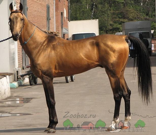 Буланый конь стоит на дороге