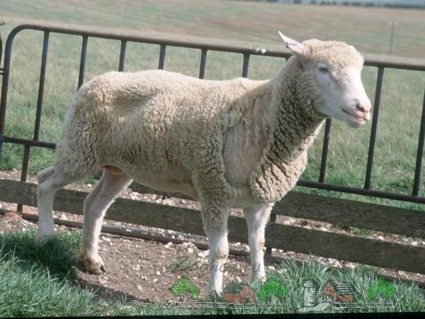 Выпадение шерсти у овцы