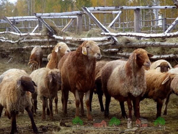 Курдючное стадо в загоне