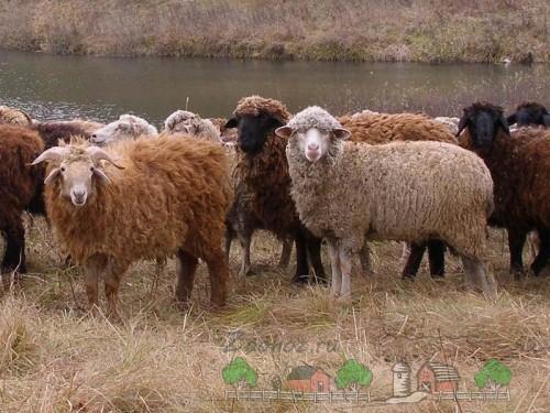 Пуховые овцы на лугу