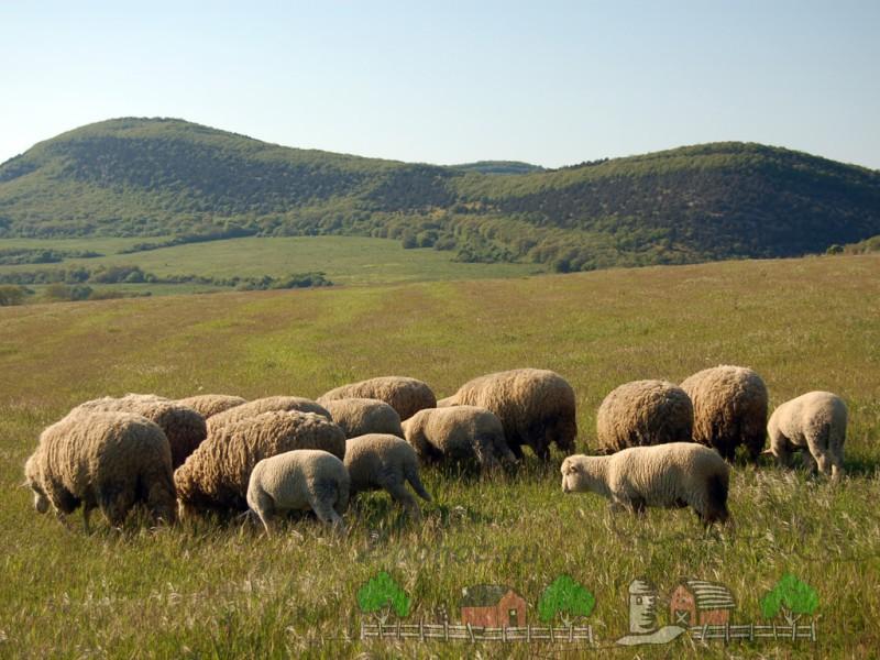 Овцы на пастбище напротив гор
