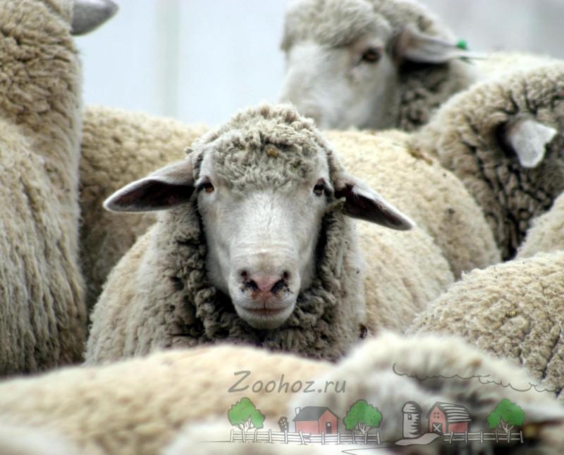 Взрослая овца в отаре