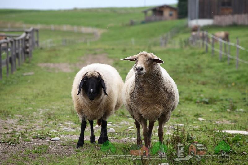 Пара овец в английской деревне