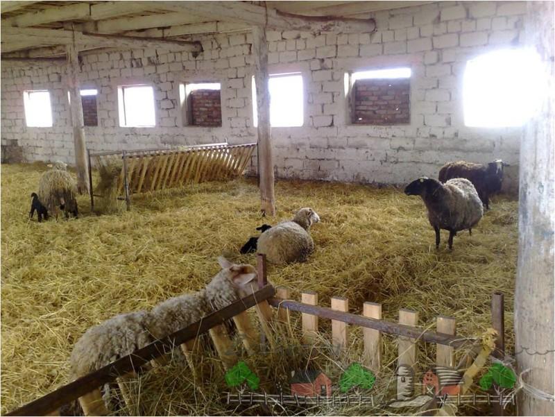 Овцы в помещении