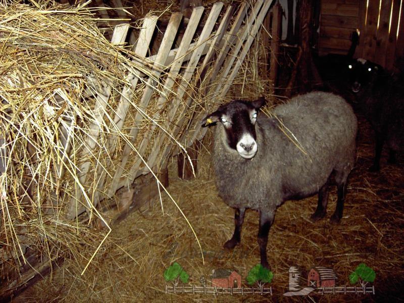Овца возле кормушки с сеном