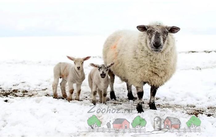 Овца с ягнятами на выгуле зимой