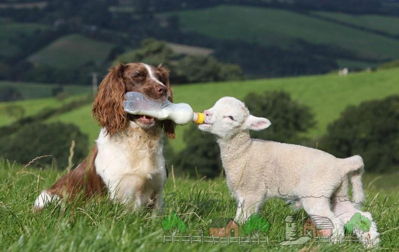Собака кормит ягненка молоком из бутылочки