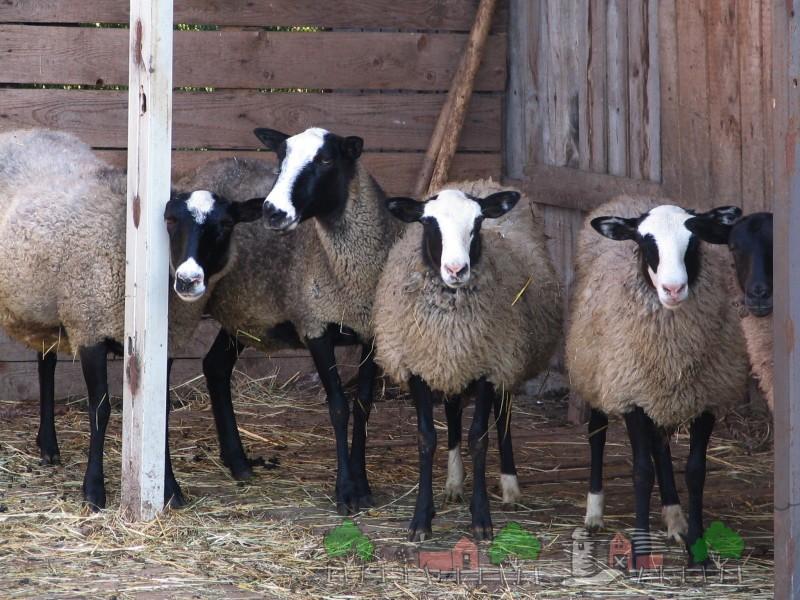 Романовские овечки под навесом