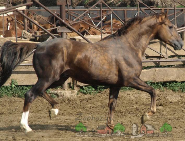 Лошадь с золотисто-бурым отенком