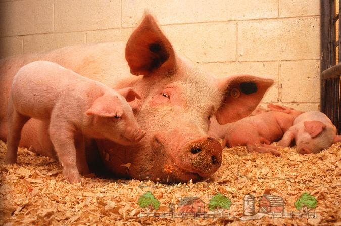 Свинья отдыхает с поросятами