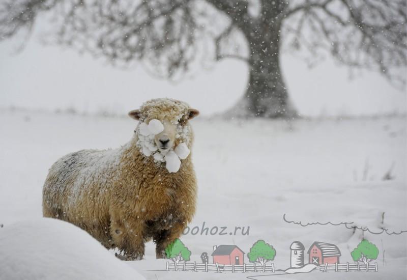 Пушистая овца в снегу зимой