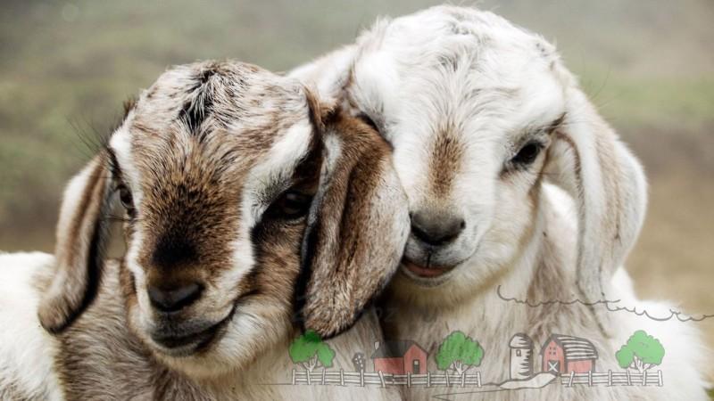 Что едят овцы и бараны, кормление ягнят в домашних условиях: правильный рацион и нормы для молодняка