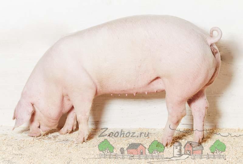 Свинка Ландрас в хлеву