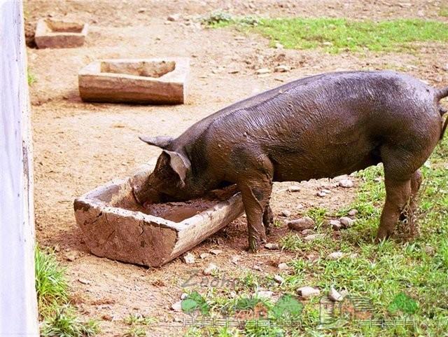 Свинья ест из корыта