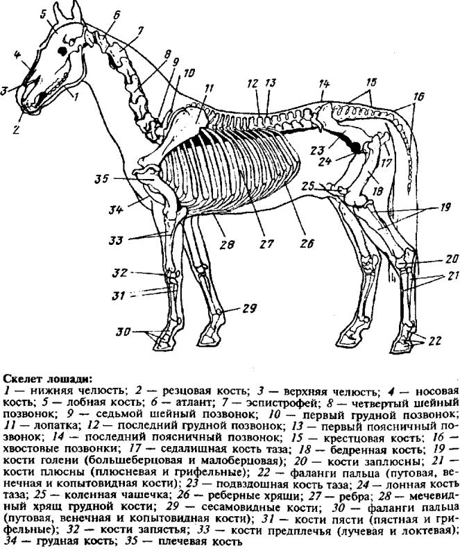 Скелет лошади - схема