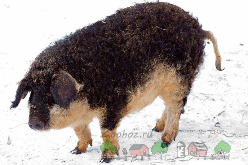 Мангалица окраса ласточка на снегу