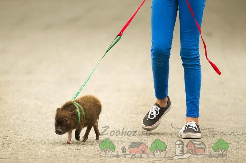 Мини пиг гуляет на поводке