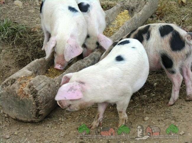Свиньи едят из кормушки