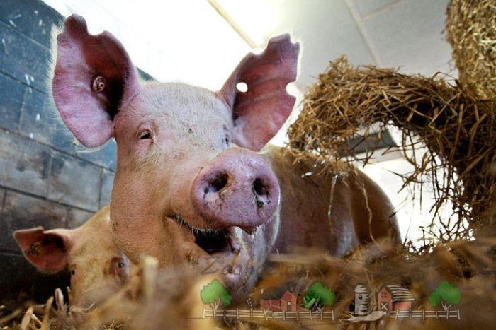 Свинья кушает сено