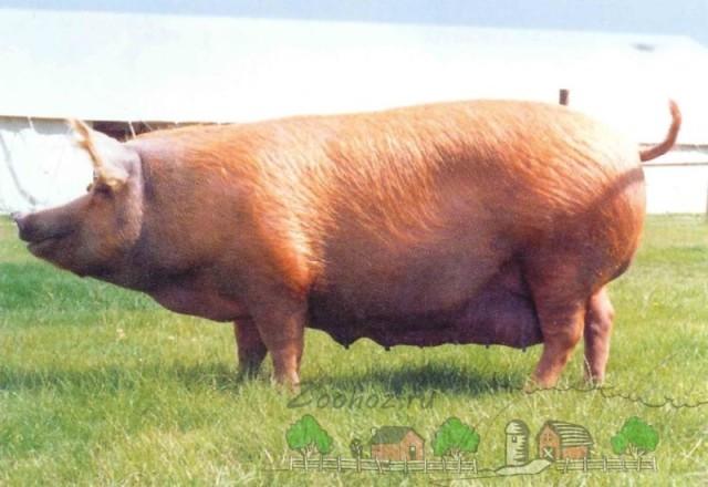 Обзор свиней мясной породы, их описание и фото