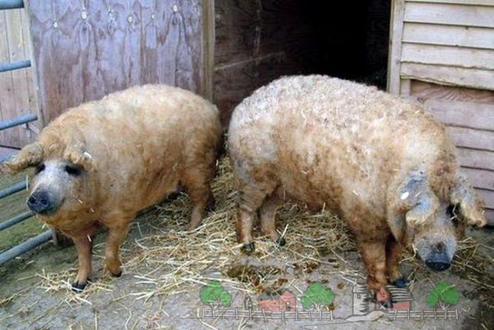 Две белые свинки возле сарая