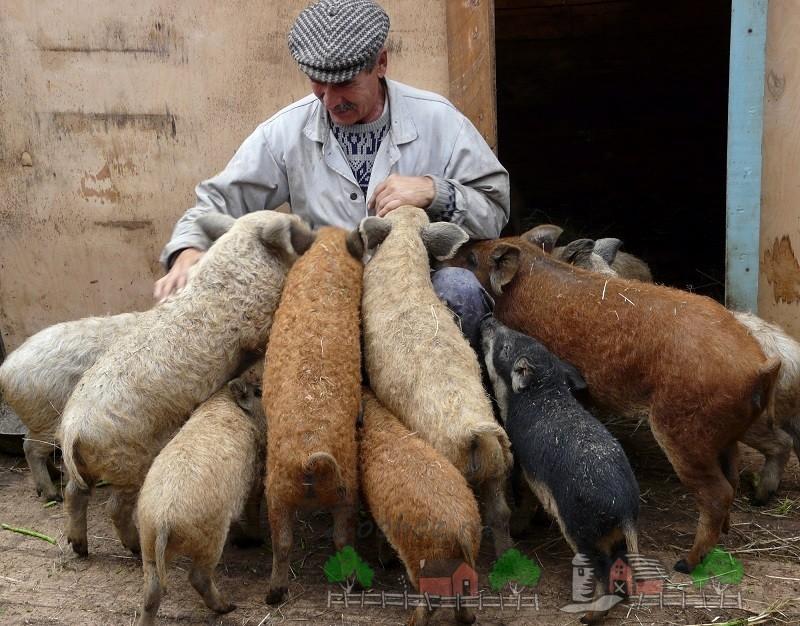 Заводчик вместе со своими свинками