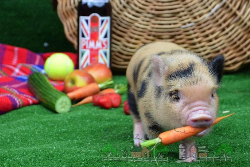 Свинка с морковкой в зубах