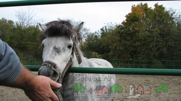 Серая мини-лошадка ест с руки