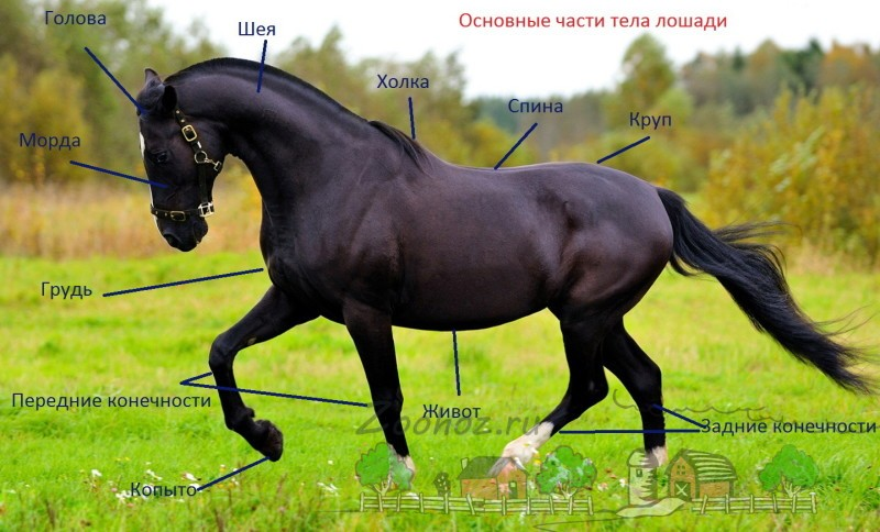 Основные части тела лошади