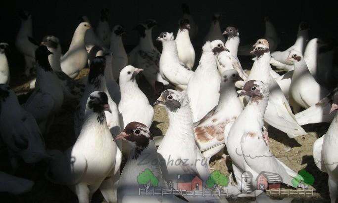 Бело-пестрые бойные голуби
