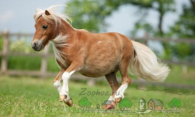 Миниатюрный пони Чарли