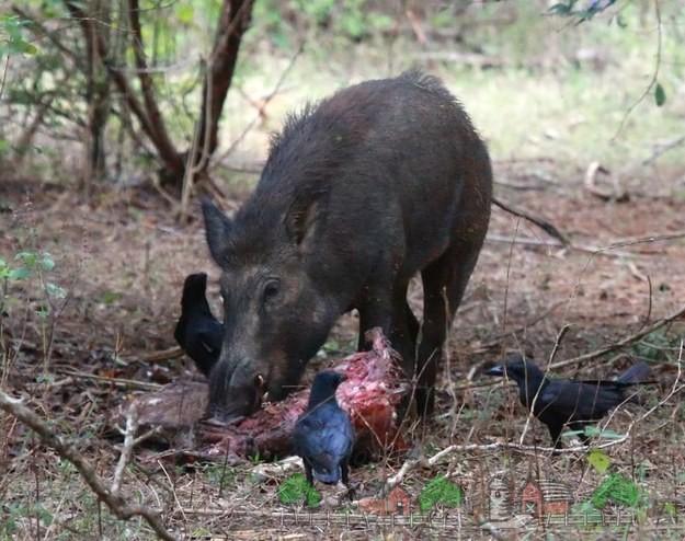 Дикий свин поедает падаль