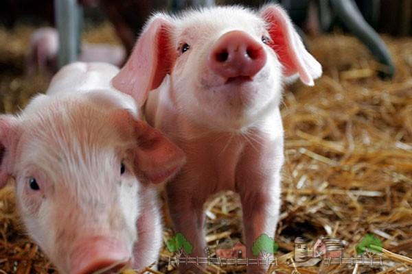 Разведение свиней и свиноводство как бизнес в домашних условиях: выгодно ли держать и выращивать поросят