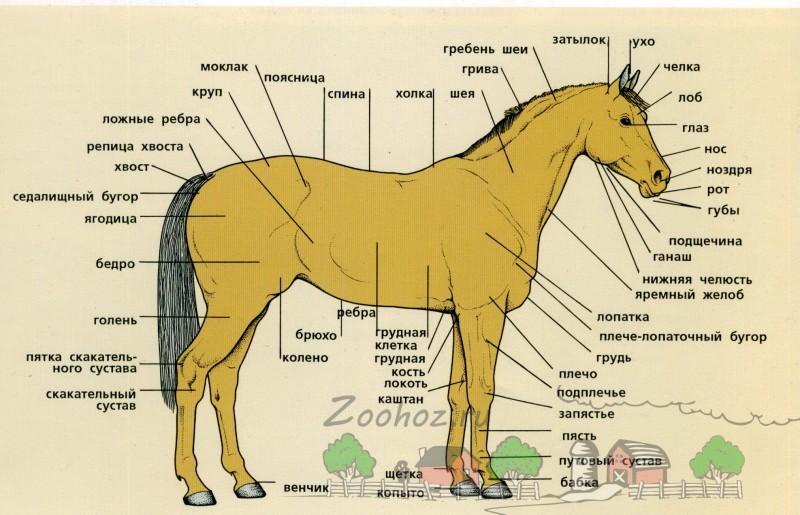 Схема статей лошади