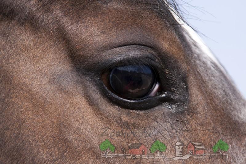 Темный глаз гнедого коня