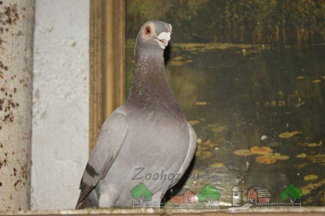 Короткоклювый голубь серо-коричневого окраса