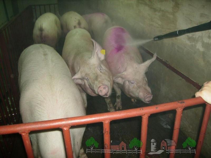 Поливание свиней из шланга