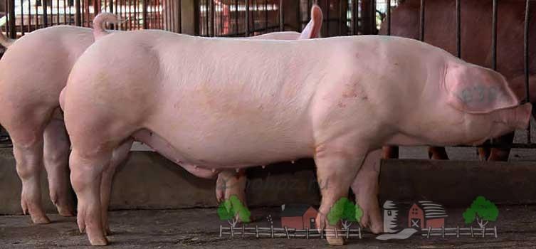 Свиньи Ландрасы на выставке