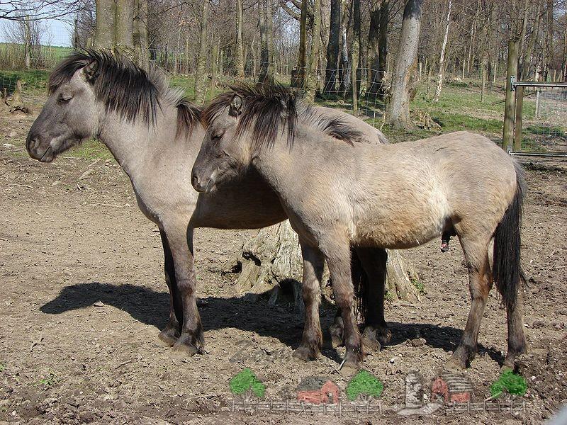 Пара лошадей Хека