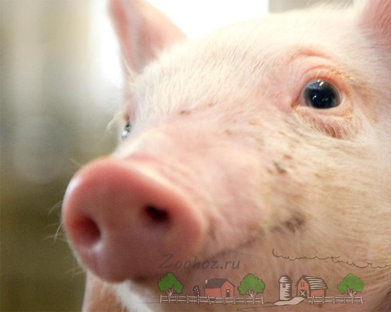 Самая большая свинья в мире, ее вес, фото и видео
