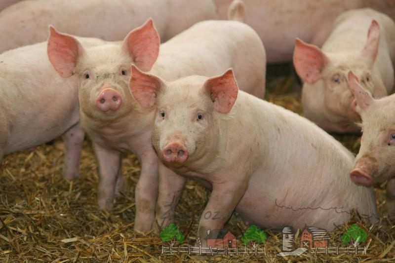 Свиноводство в республике Беларусь: обзор и фото