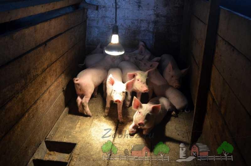 Поросята в загоне под лампой