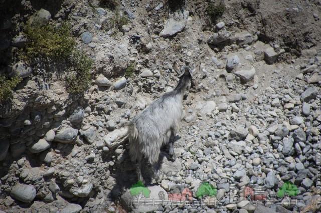 Дикая Санада в горах