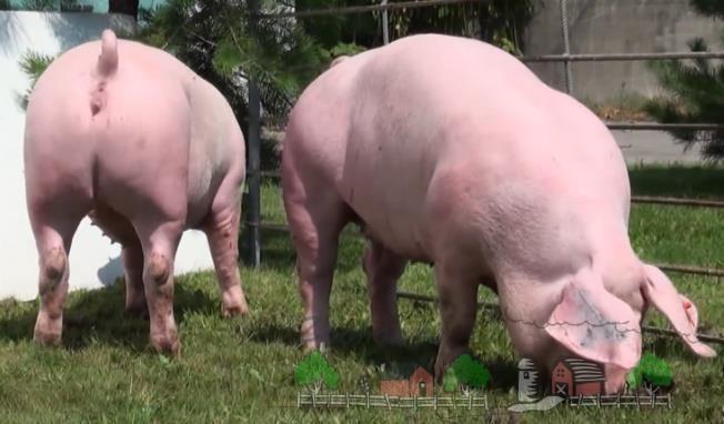 Свиньи едят траву