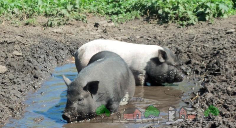 Свиньи купаются в грязевой ванне
