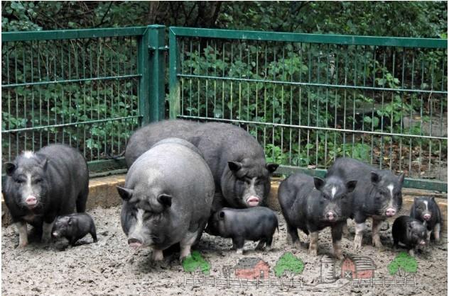 Стадо свиней гуляет во дворе