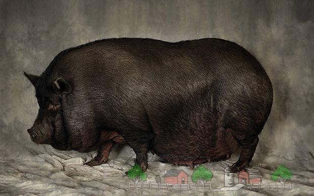 Вислобрюхая вьетнамская свиноматка